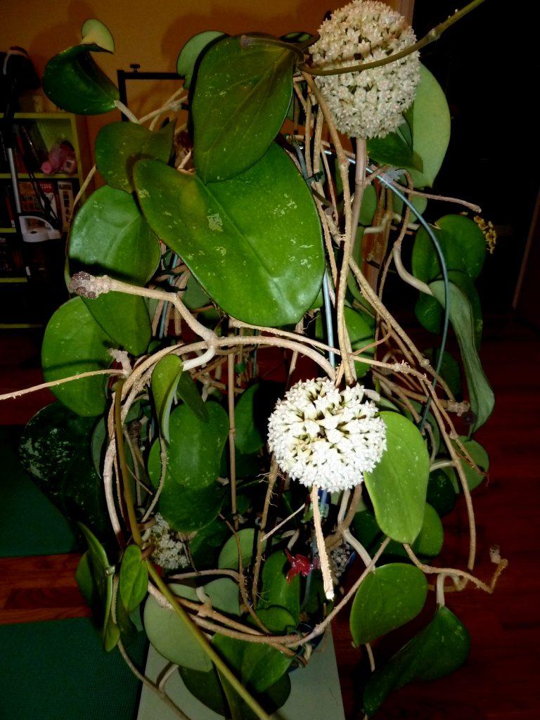 Фото с описанием цветка хойя